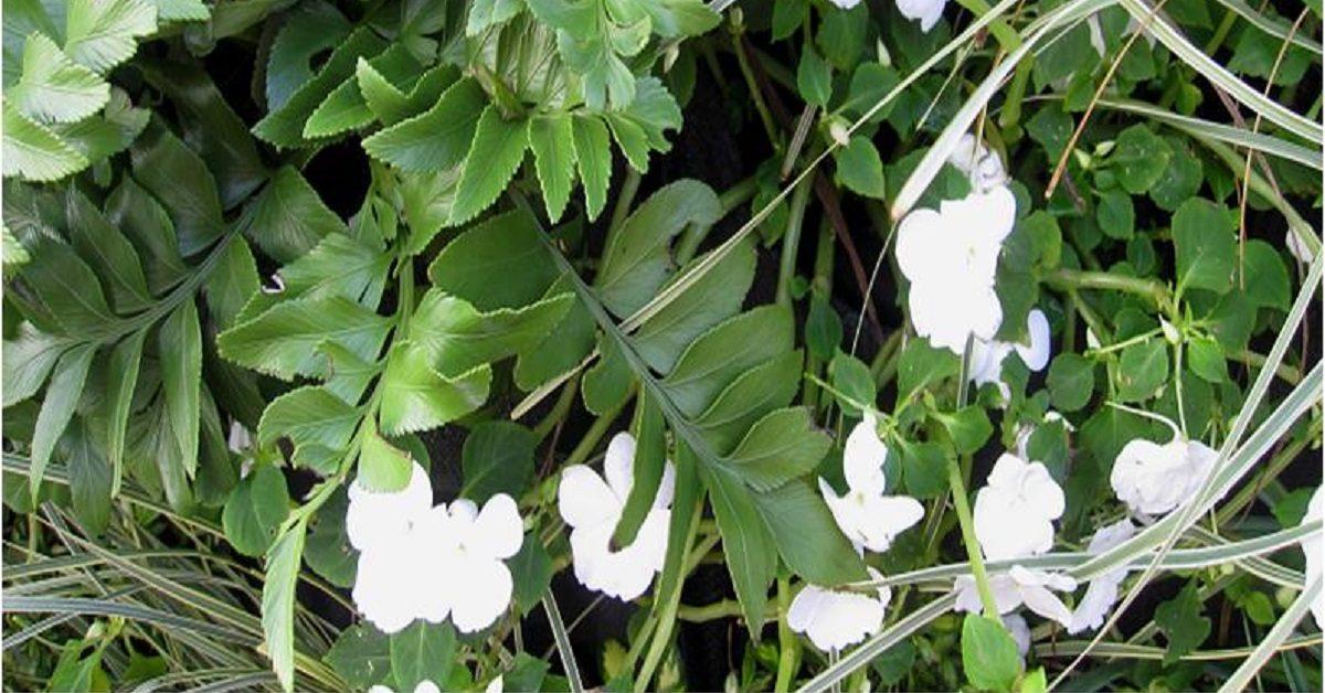 Asplenium obtusatum and white Impatiens