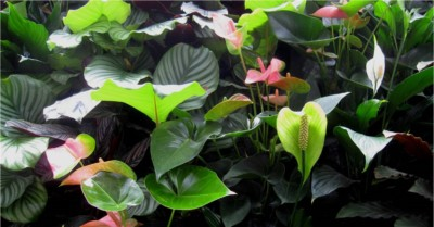 Spathyphyllum, Anthurium and Calathea orbifolia