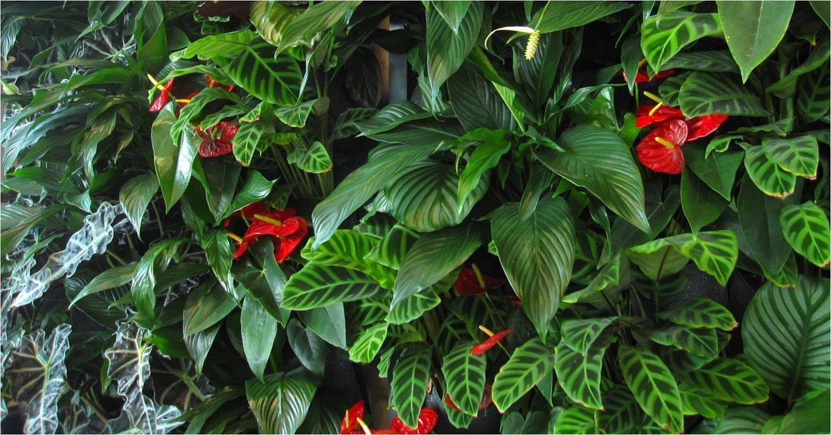 Spathyphyllum, Calathea zebrina, Anthurium and Alocasia